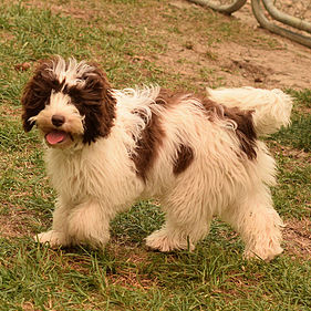 Labradoodle Puppy Available for Adoption