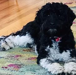 Black and white Labradoodle puppy for adoption