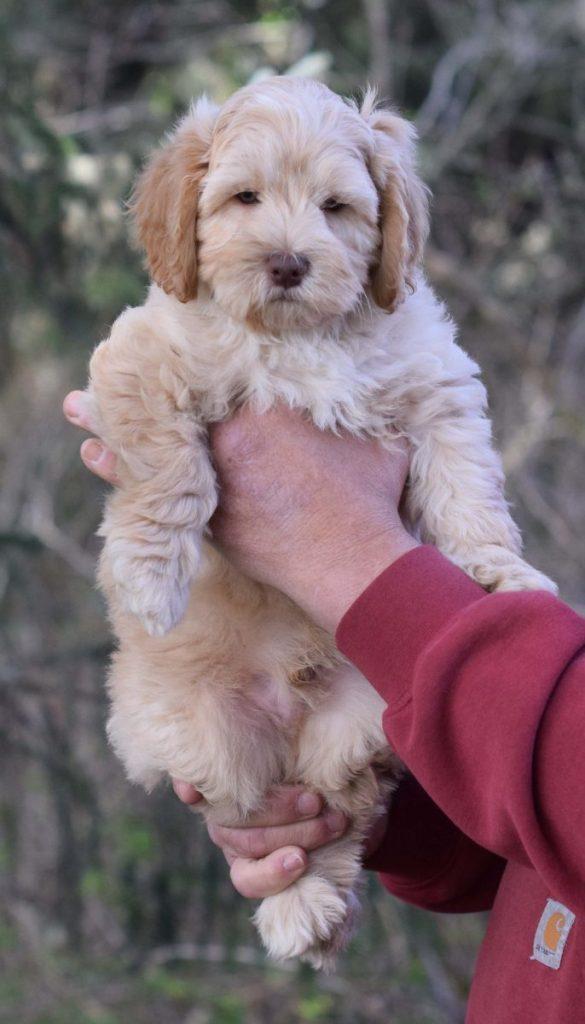 Leia 1 puppy 2 8 weeks web 4x7DSC_0110.j